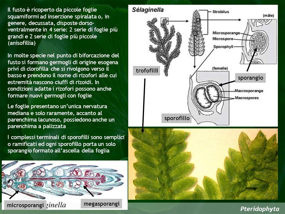 Pteridophyta sporangio sporofillo trofofilli Le foglie presentano ununica nervatura mediana e solo raramente, accanto al parenchima lacunoso, possiedo