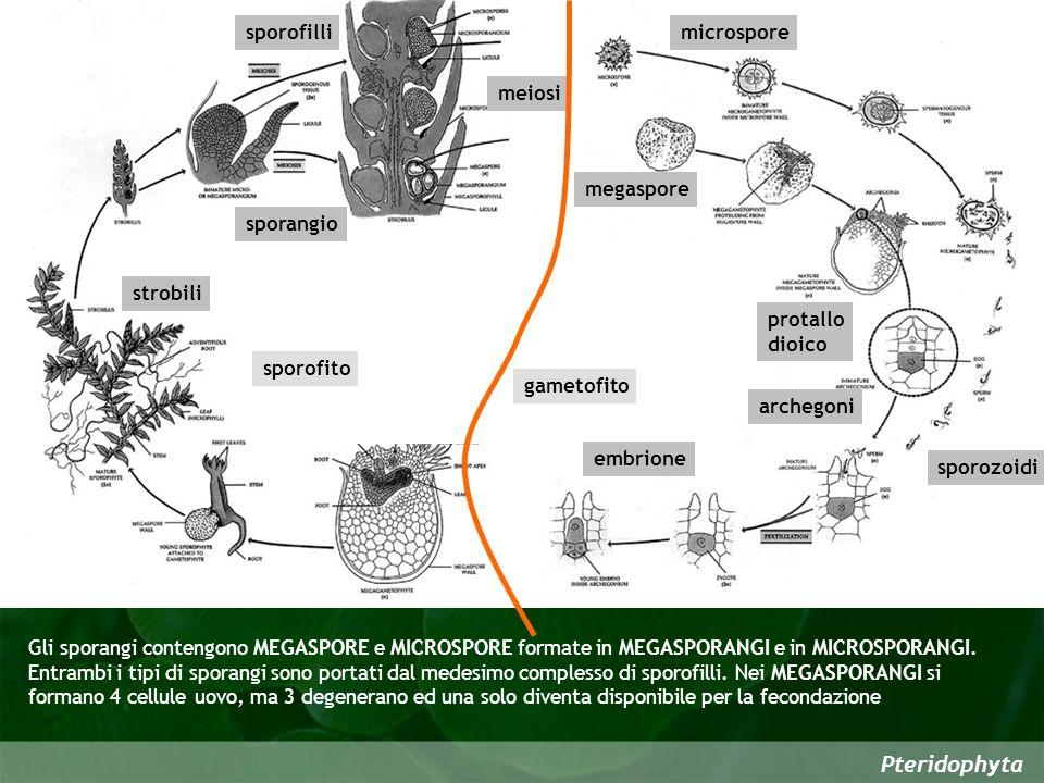 Pteridophyta strobili sporofilli sporangio microspore meiosi protallo dioico sporozoidi archegoni embrione sporofito gametofito megaspore Gli sporangi contengono MEGASPORE e MICROSPORE formate in MEGASPORANGI e in MICROSPORANGI.