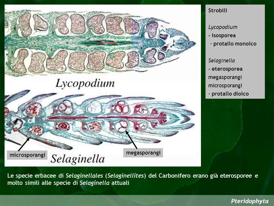 Pteridophyta Strobili Lycopodium - isosporea - protallo monoico Selaginella - eterosporea megasporangi microsporangi - protallo dioico megasporangi microsporangi Le specie erbacee di Selaginellales (Selaginellites) del Carbonifero erano già eterosporee e molto simili alle specie di Selaginella attuali