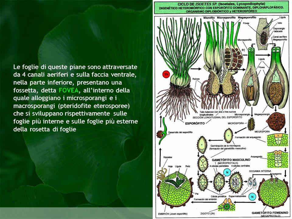 Pteridophyta Le foglie di queste piane sono attraversate da 4 canali aeriferi e sulla faccia ventrale, nella parte inferiore, presentano una fossetta,