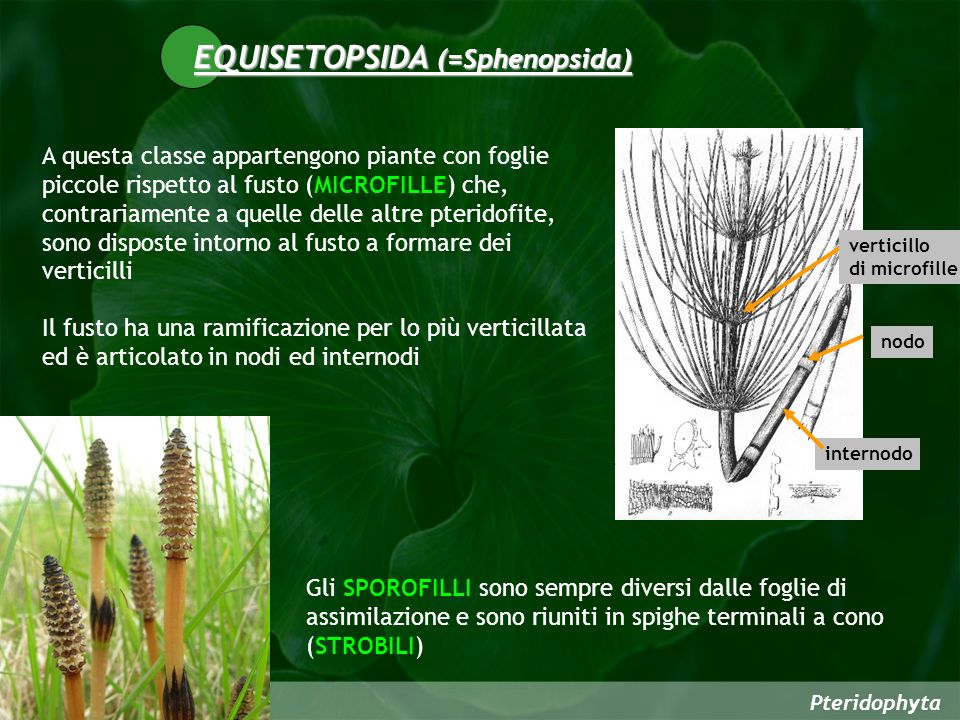 Pteridophyta A questa classe appartengono piante con foglie piccole rispetto al fusto (MICROFILLE) che, contrariamente a quelle delle altre pteridofite, sono disposte intorno al fusto a formare dei verticilli Il fusto ha una ramificazione per lo più verticillata ed è articolato in nodi ed internodi EQUISETOPSIDA (=Sphenopsida) Gli SPOROFILLI sono sempre diversi dalle foglie di assimilazione e sono riuniti in spighe terminali a cono (STROBILI) internodo nodo verticillo di microfille