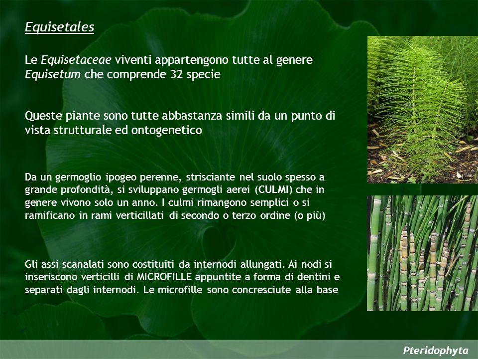 Pteridophyta Equisetales Le Equisetaceae viventi appartengono tutte al genere Equisetum che comprende 32 specie Queste piante sono tutte abbastanza si