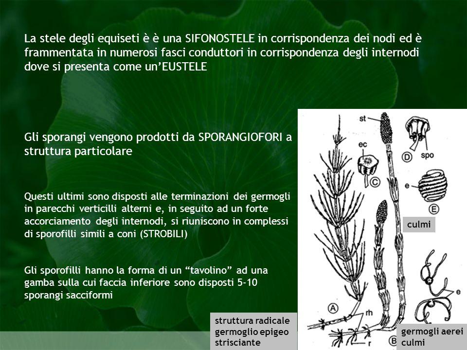 Pteridophyta La stele degli equiseti è è una SIFONOSTELE in corrispondenza dei nodi ed è frammentata in numerosi fasci conduttori in corrispondenza de