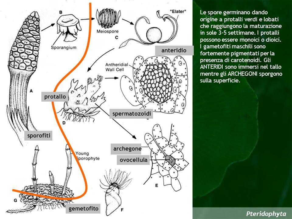 Pteridophyta ovocellula gemetofito anteridio archegone spermatozoidi sporofiti protallo Le spore germinano dando origine a protalli verdi e lobati che raggiungono la maturazione in sole 3-5 settimane.