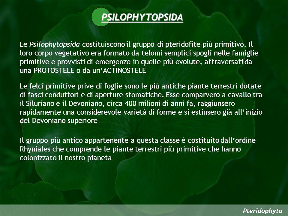 Pteridophyta PSILOPHYTOPSIDA Le Psilophytopsida costituiscono il gruppo di pteridofite più primitivo. Il loro corpo vegetativo era formato da telomi s
