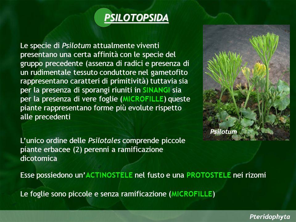 Pteridophyta PSILOTOPSIDA Le specie di Psilotum attualmente viventi presentano una certa affinità con le specie del gruppo precedente (assenza di radici e presenza di un rudimentale tessuto conduttore nel gametofito rappresentano caratteri di primitività) tuttavia sia per la presenza di sporangi riuniti in SINANGI sia per la presenza di vere foglie (MICROFILLE) queste piante rappresentano forme più evolute rispetto alle precedenti Lunico ordine delle Psilotales comprende piccole piante erbacee (2) perenni a ramificazione dicotomica Psilotum Esse possiedono unACTINOSTELE nel fusto e una PROTOSTELE nei rizomi Le foglie sono piccole e senza ramificazione (MICROFILLE)