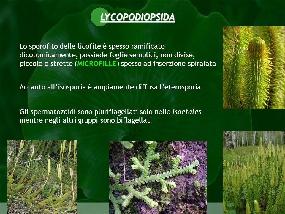 Pteridophyta Lo sporofito delle licofite è spesso ramificato dicotomicamente, possiede foglie semplici, non divise, piccole e strette (MICROFILLE) spe