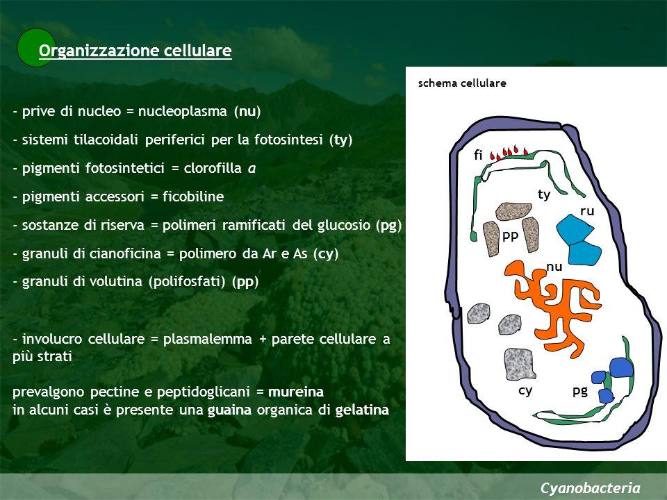 Organizzazione strutturale Cyanobacteria Alcune cianofite sono CENOBI FILAMENTI CON DIFFERENZIAMENTO ETEROPOLARE FILAMENTI NON RAMIFICATI FILAMENTI CON RAMIFICAZIONI Dermocarpa UNICELLULARI La differenziazione morfologica che deriva da queste forme comprende CENOBI Merismopedia sp.
