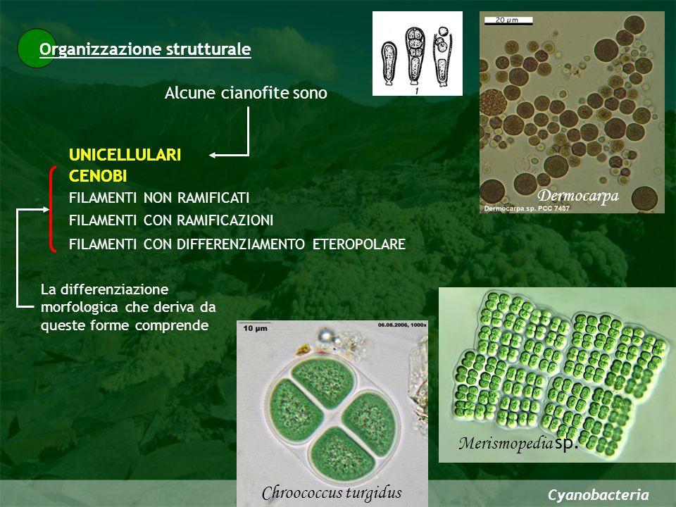 Organizzazione strutturale Cyanobacteria Alcune cianofite sono CENOBI FILAMENTI CON DIFFERENZIAMENTO ETEROPOLARE FILAMENTI NON RAMIFICATI FILAMENTI CO