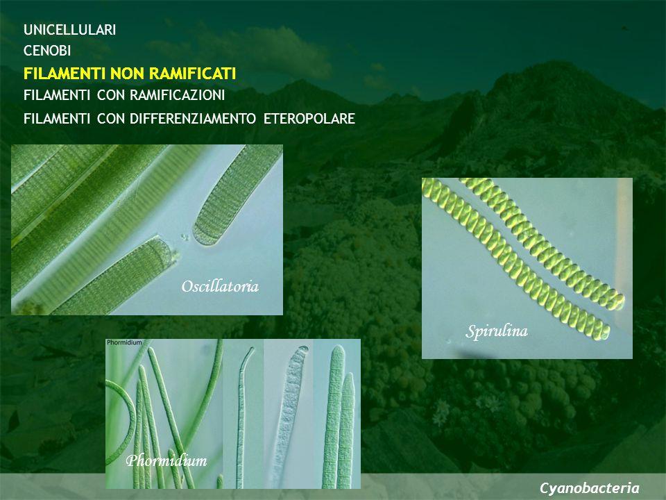 Cyanobacteria CENOBI FILAMENTI CON DIFFERENZIAMENTO ETEROPOLARE FILAMENTI NON RAMIFICATI FILAMENTI CON RAMIFICAZIONI UNICELLULARI Anabaena azollae FILAMENTI NON RAMIFICATI Nostoc ellipsosporum Cellule differenziate prive di biliproteine e fotosistema II in grado di ridurre lN molecolare atmosferico per lazione dellenzima NITROGENASI CON ETEROCISTI
