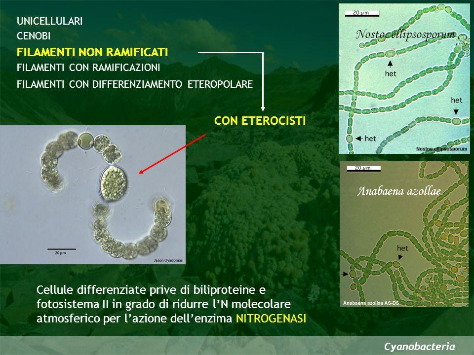 Cyanobacteria CENOBI FILAMENTI CON DIFFERENZIAMENTO ETEROPOLARE FILAMENTI NON RAMIFICATI FILAMENTI CON RAMIFICAZIONI UNICELLULARI FILAMENTI CON RAMIFICAZIONI Vere ramificazioni False ramificazioni Le false ramificazioni sono costituite da segmenti emergenti dalla guaina gelatinosa del filamento madre Si formano per per la modificazione del piano di divisione Tolypothrix