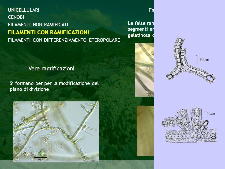 Cyanobacteria CENOBI FILAMENTI CON DIFFERENZIAMENTO ETEROPOLARE FILAMENTI NON RAMIFICATI FILAMENTI CON RAMIFICAZIONI UNICELLULARI FILAMENTI CON RAMIFI