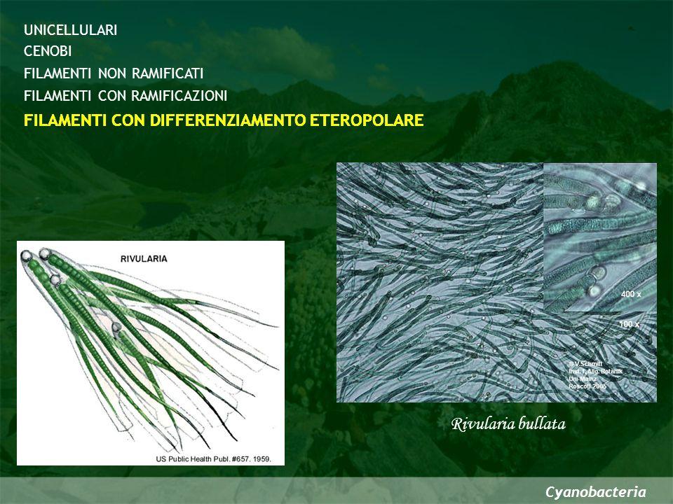 Cyanobacteria Rivularia bullata CENOBI FILAMENTI CON DIFFERENZIAMENTO ETEROPOLARE FILAMENTI NON RAMIFICATI FILAMENTI CON RAMIFICAZIONI UNICELLULARI FI