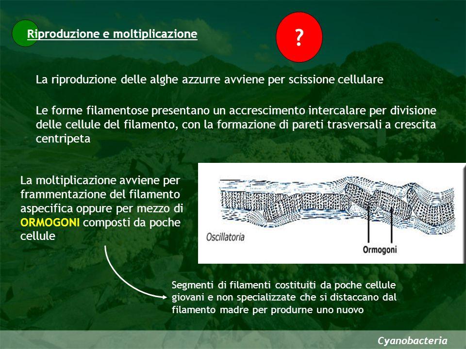Cyanobacteria Riproduzione e moltiplicazione La riproduzione delle alghe azzurre avviene per scissione cellulare ? Le forme filamentose presentano un