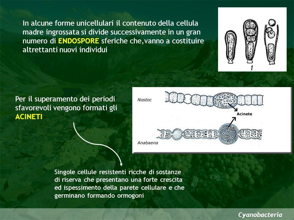 Cyanobacteria Sistematica Classe Cyanophyceae Sottoclasse Coccogoneae unicellulari o formano cenobi di poche o molte cellule mai lunghi filamenti Sottoclasse Hormogoneae lunghi filamenti e sono suddivise in 3 ordini in base al grado di differenziazione cellulare Oscillatorialesno eterocisti-acineti; no ramificazioni; ormogoni Nostocaleseterociti; a volte acineti; false ramificazioni; ormogoni Stigonematalesvere ramificazioni; ormogoni
