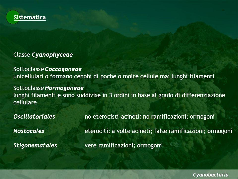 Cyanobacteria Sistematica Classe Cyanophyceae Sottoclasse Coccogoneae unicellulari o formano cenobi di poche o molte cellule mai lunghi filamenti Sott