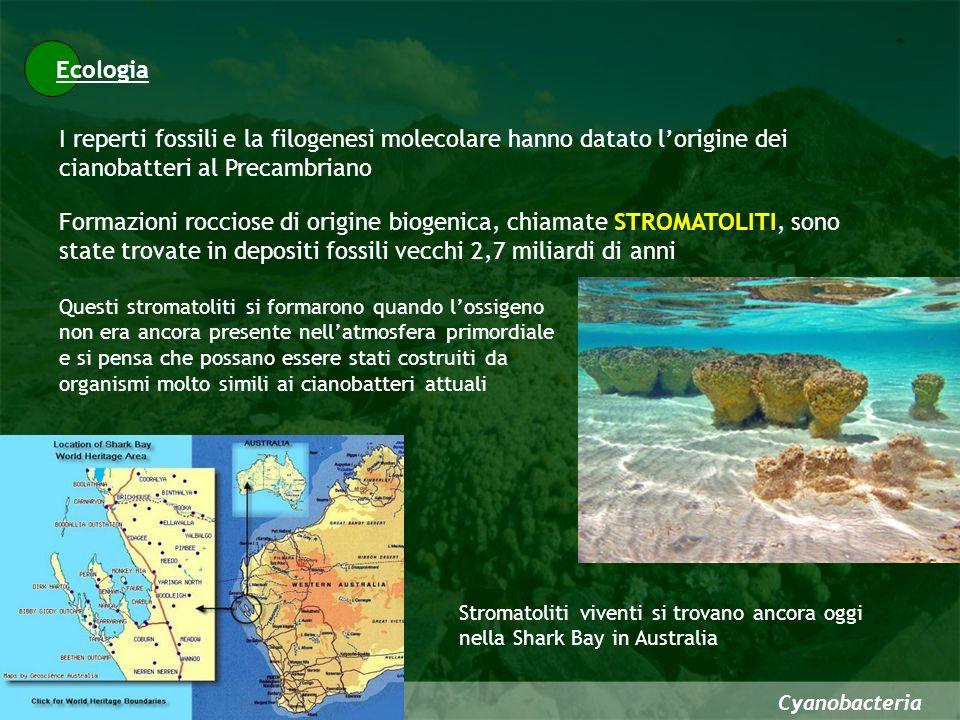 Cyanobacteria I reperti fossili e la filogenesi molecolare hanno datato lorigine dei cianobatteri al Precambriano Ecologia Formazioni rocciose di orig