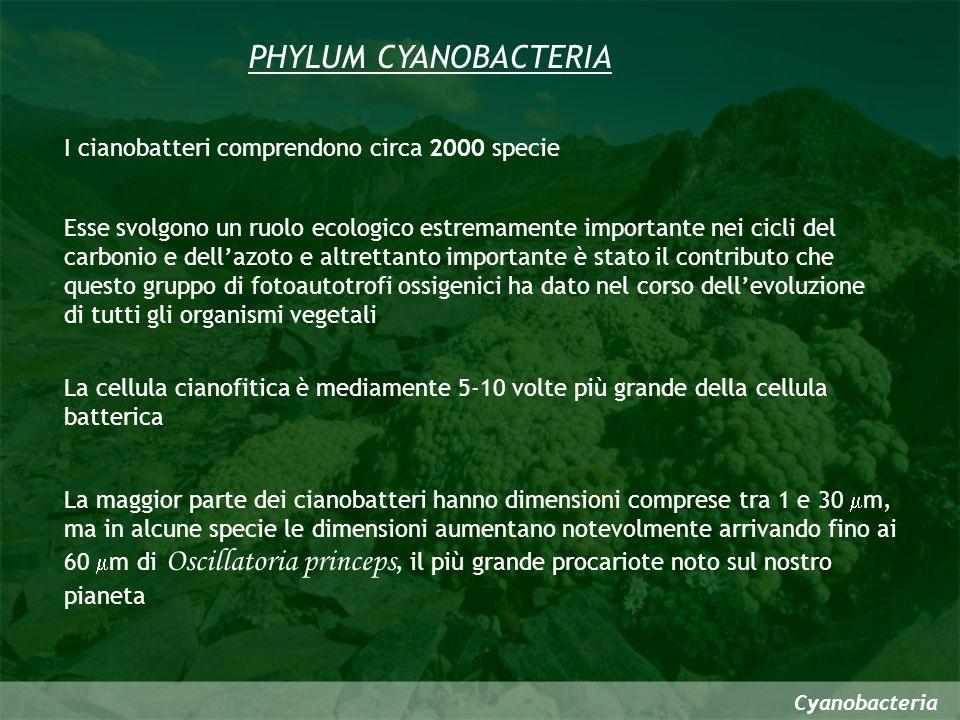 PHYLUM CYANOBACTERIA I cianobatteri comprendono circa 2000 specie La maggior parte dei cianobatteri hanno dimensioni comprese tra 1 e 30 m, ma in alcu