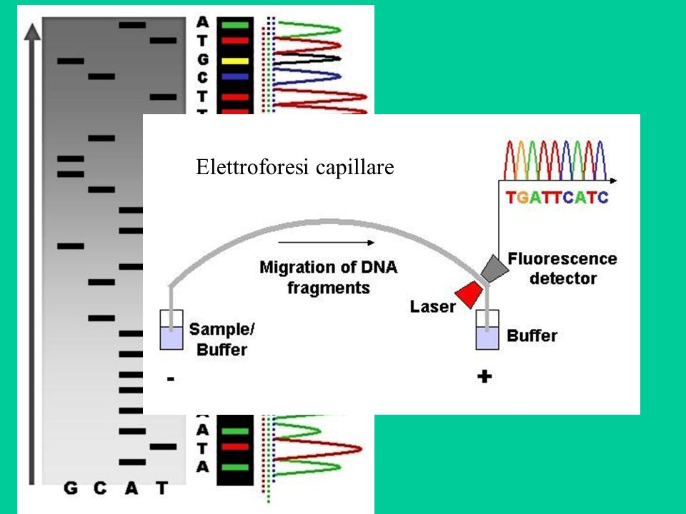 Esempio di output Current methods can directly sequence only relatively short (300-1000 nucleotides long) DNA fragments in a single reaction.