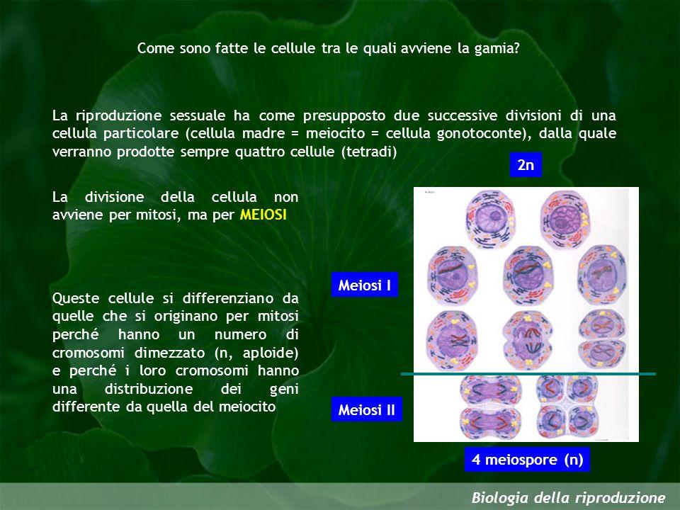 Come sono fatte le cellule tra le quali avviene la gamia? Biologia della riproduzione La riproduzione sessuale ha come presupposto due successive divi