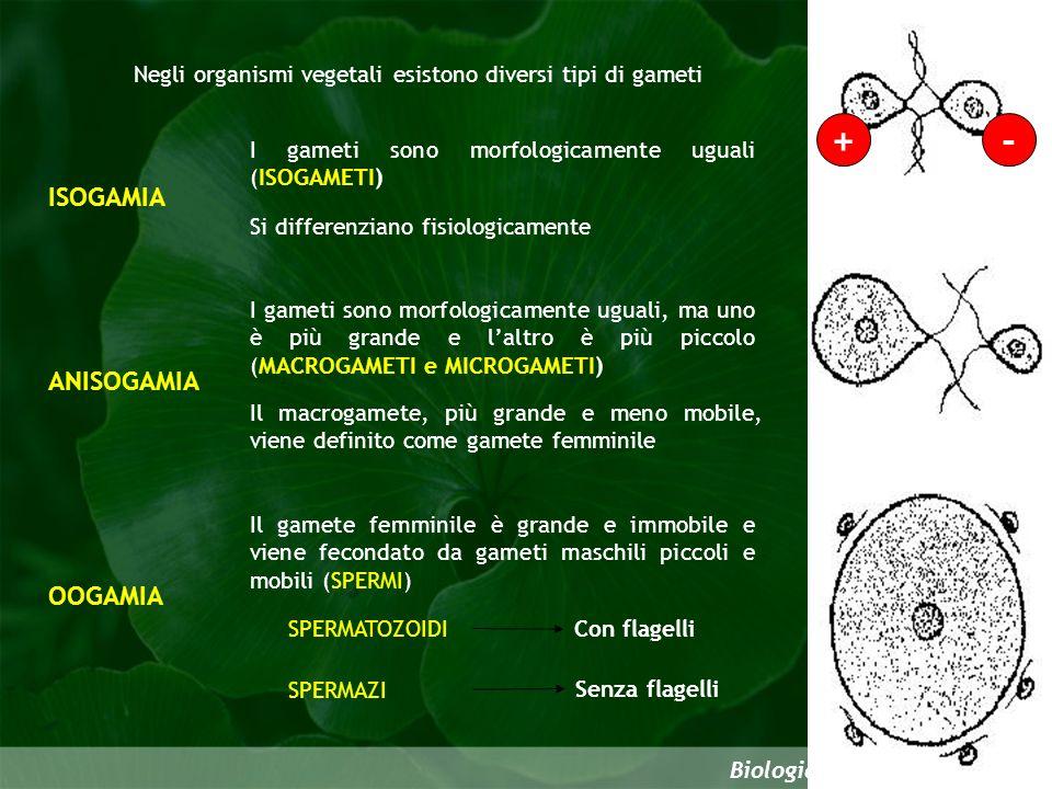 Negli organismi vegetali esistono diversi tipi di gameti Biologia della riproduzione ISOGAMIA I gameti sono morfologicamente uguali (ISOGAMETI) Si dif