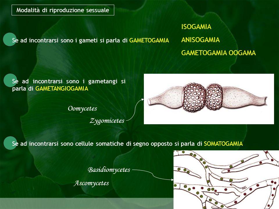 Modalità di riproduzione sessuale Biologia della riproduzione Se ad incontrarsi sono i gameti si parla di GAMETOGAMIA Se ad incontrarsi sono i gametan