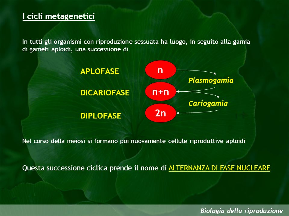 I cicli metagenetici Biologia della riproduzione In tutti gli organismi con riproduzione sessuata ha luogo, in seguito alla gamia di gameti aploidi, u