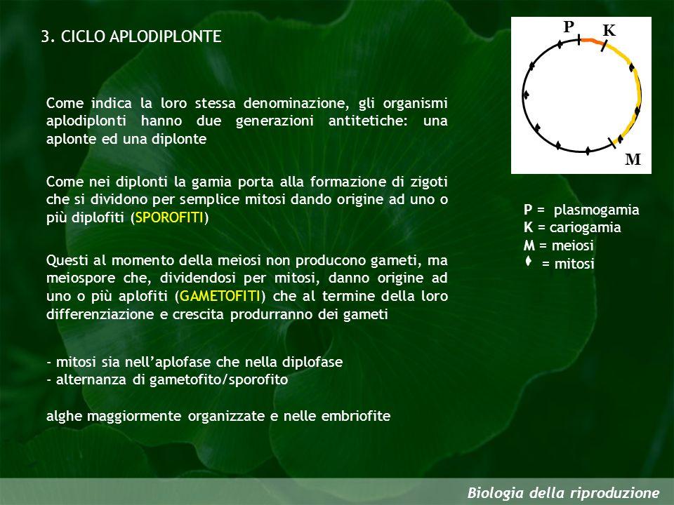 Biologia della riproduzione 3. CICLO APLODIPLONTE P K M P = plasmogamia K = cariogamia M = meiosi = mitosi Come indica la loro stessa denominazione, g