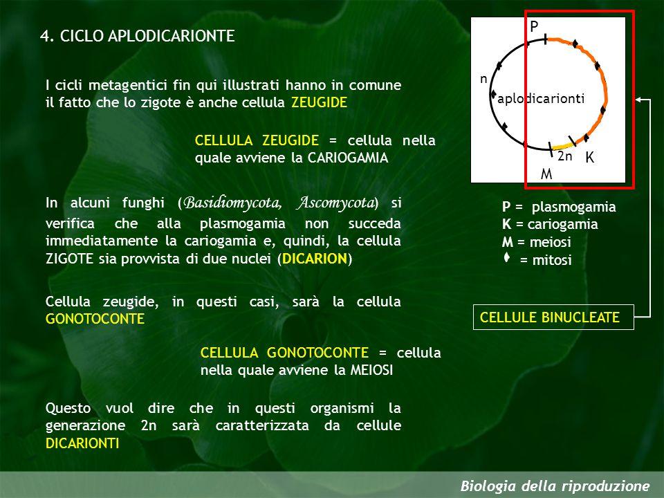 Biologia della riproduzione 4. CICLO APLODICARIONTE P = plasmogamia K = cariogamia M = meiosi = mitosi I cicli metagentici fin qui illustrati hanno in
