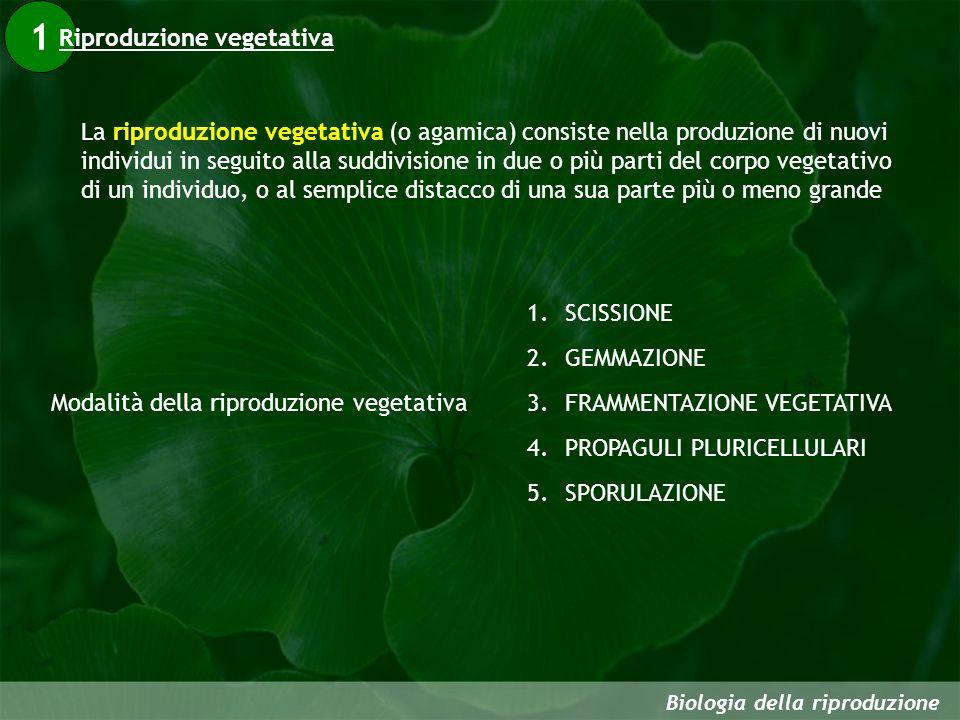 1 Biologia della riproduzione La riproduzione vegetativa (o agamica) consiste nella produzione di nuovi individui in seguito alla suddivisione in due