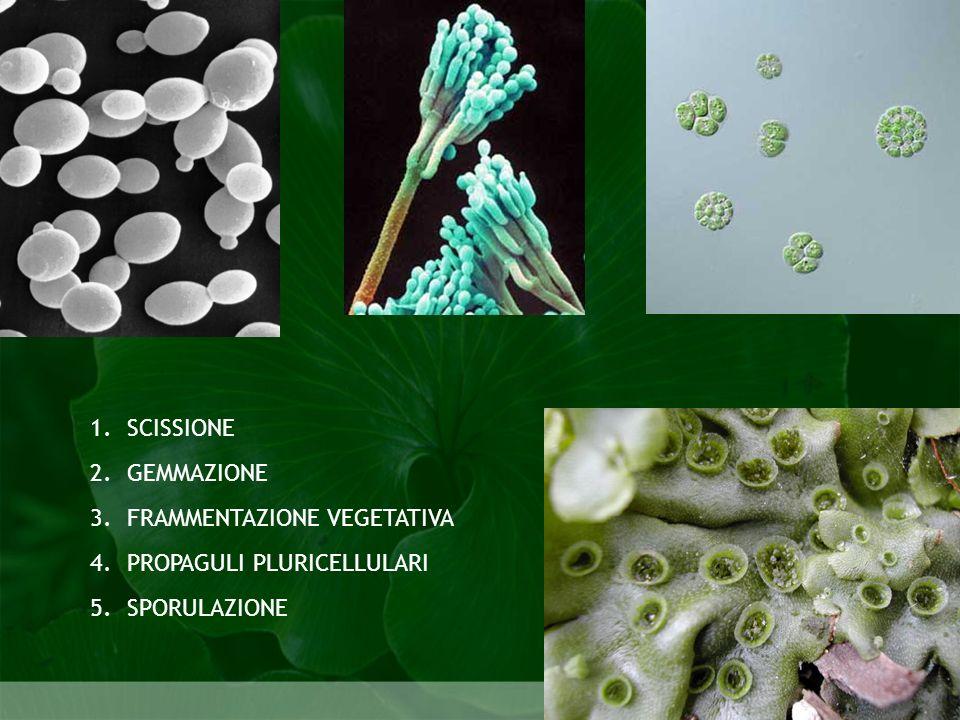 Biologia della riproduzione SCISSIONE1. GEMMAZIONE2. FRAMMENTAZIONE VEGETATIVA3. PROPAGULI PLURICELLULARI4. SPORULAZIONE5. Biologia della riproduzione