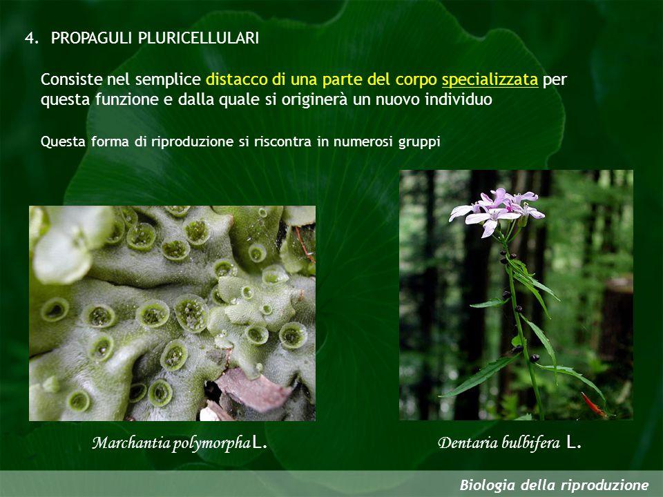 Biologia della riproduzione Dentaria bulbifera L. PROPAGULI PLURICELLULARI4. Consiste nel semplice distacco di una parte del corpo specializzata per q