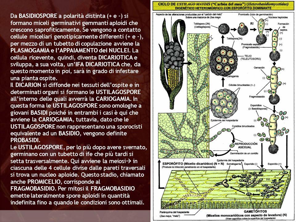 Eumycota Da BASIDIOSPORE a polarità distinta (+ e -) si formano miceli germinativi gemmanti aploidi che crescono saprofiticamente. Se vengono a contat