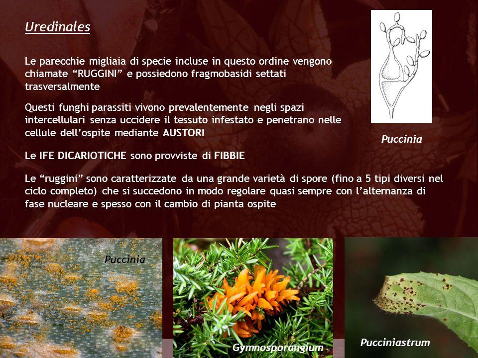 Eumycota Le parecchie migliaia di specie incluse in questo ordine vengono chiamate RUGGINI e possiedono fragmobasidi settati trasversalmente Uredinale