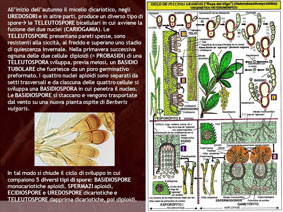 Eumycota Allinizio dellautunno il micelio dicariotico, negli UREDOSORI e in altre parti, produce un diverso tipo di spore le TELEUTOSPORE bicellulari