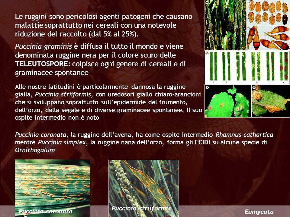 Eumycota Le ruggini sono pericolosi agenti patogeni che causano malattie soprattutto nei cereali con una notevole riduzione del raccolto (dal 5% al 25