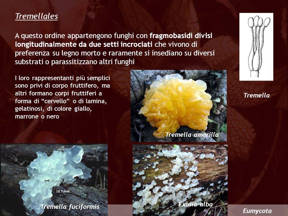 Eumycota Tremella Tremellales A questo ordine appartengono funghi con fragmobasidi divisi longitudinalmente da due setti incrociati che vivono di pref