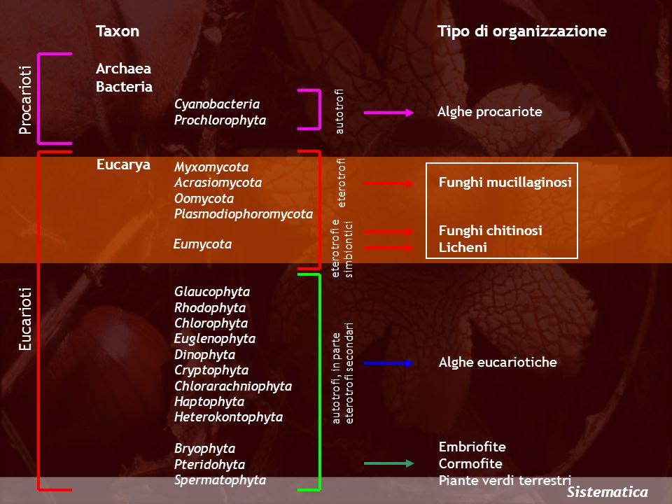 Eumycota Le parecchie migliaia di specie incluse in questo ordine vengono chiamate RUGGINI e possiedono fragmobasidi settati trasversalmente Uredinales Questi funghi parassiti vivono prevalentemente negli spazi intercellulari senza uccidere il tessuto infestato e penetrano nelle cellule dellospite mediante AUSTORI Le IFE DICARIOTICHE sono provviste di FIBBIE Le ruggini sono caratterizzate da una grande varietà di spore (fino a 5 tipi diversi nel ciclo completo) che si succedono in modo regolare quasi sempre con lalternanza di fase nucleare e spesso con il cambio di pianta ospite Puccinia Gymnosporangium Pucciniastrum Puccinia