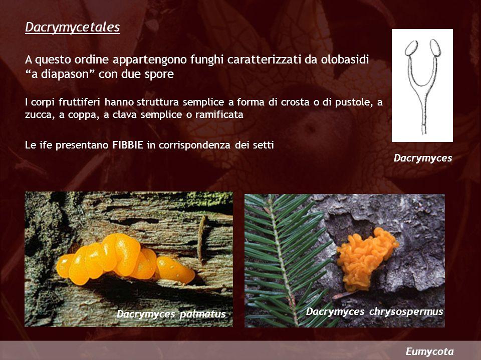 Eumycota Dacrymycetales A questo ordine appartengono funghi caratterizzati da olobasidi a diapason con due spore Dacrymyces I corpi fruttiferi hanno s
