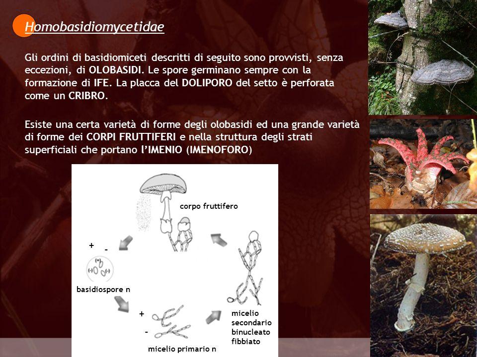 Eumycota Homobasidiomycetidae Gli ordini di basidiomiceti descritti di seguito sono provvisti, senza eccezioni, di OLOBASIDI. Le spore germinano sempr