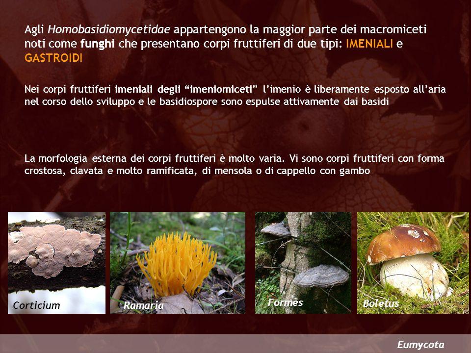 Eumycota Agli Homobasidiomycetidae appartengono la maggior parte dei macromiceti noti come funghi che presentano corpi fruttiferi di due tipi: IMENIAL