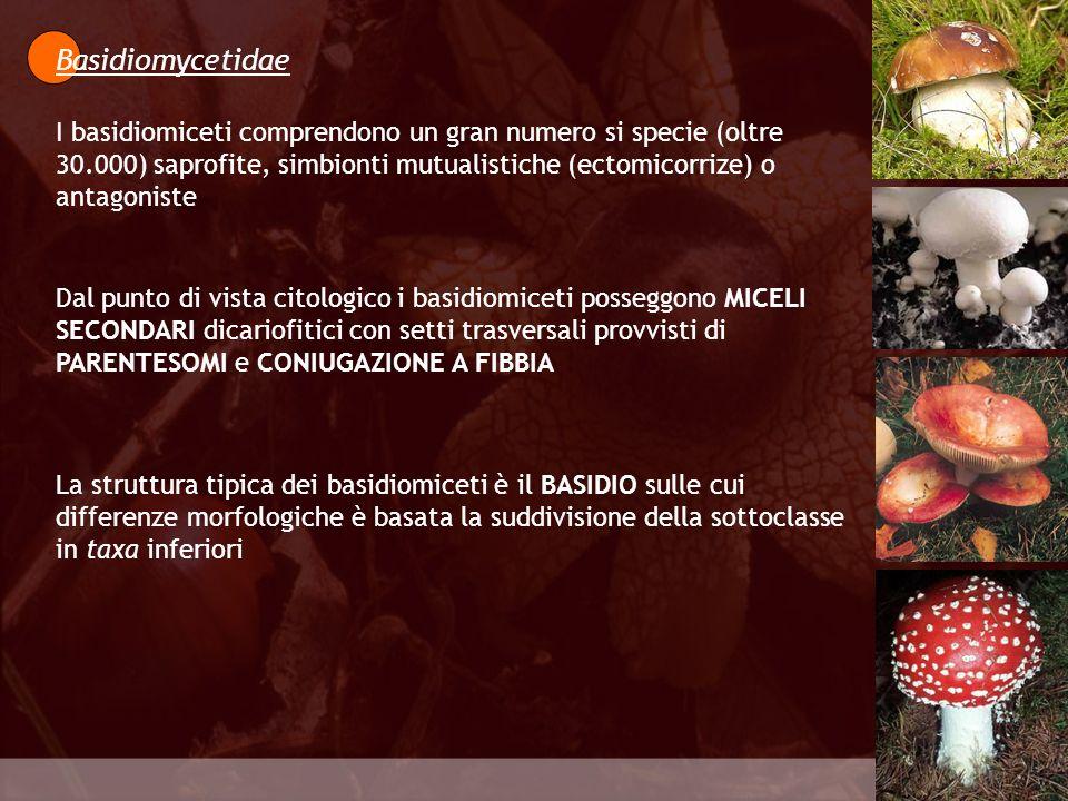 Eumycota Le BASIDIOSPORE germinano a primavera sulle foglie di Berberis vulgaris.