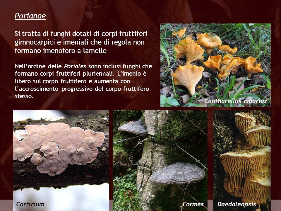 Eumycota Porianae CorticiumFormesDaedaleopsis Si tratta di funghi dotati di corpi fruttiferi gimnocarpici e imeniali che di regola non formano imenofo
