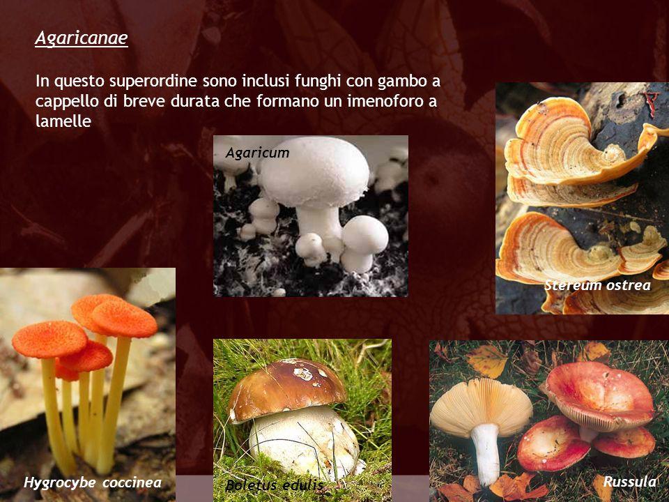 Eumycota Agaricanae Agaricum Russula Boletus edulis In questo superordine sono inclusi funghi con gambo a cappello di breve durata che formano un imen