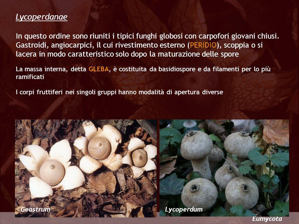 Eumycota Lycoperdanae GeastrumLycoperdum In questo ordine sono riuniti i tipici funghi globosi con carpofori giovani chiusi. Gastroidi, angiocarpici,