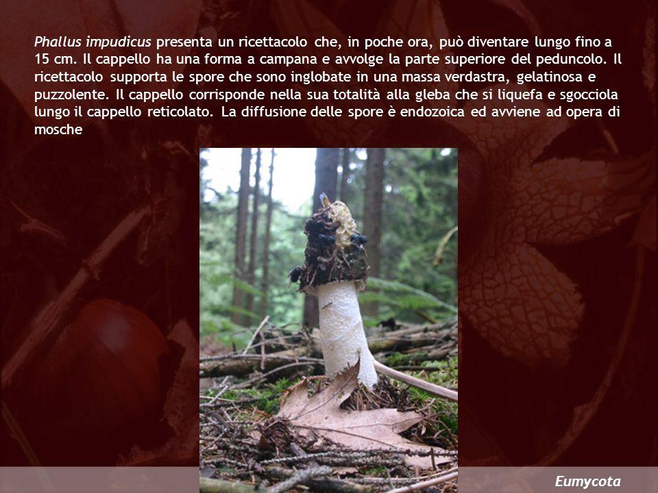 Eumycota Phallus impudicus presenta un ricettacolo che, in poche ora, può diventare lungo fino a 15 cm. Il cappello ha una forma a campana e avvolge l