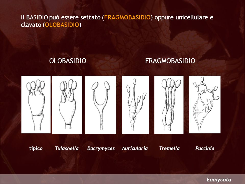 Eumycota típicoTulasnellaDacrymycesAuriculariaTremellaPuccinia OLOBASIDIOFRAGMOBASIDIO Il BASIDIO può essere settato (FRAGMOBASIDIO) oppure unicellula