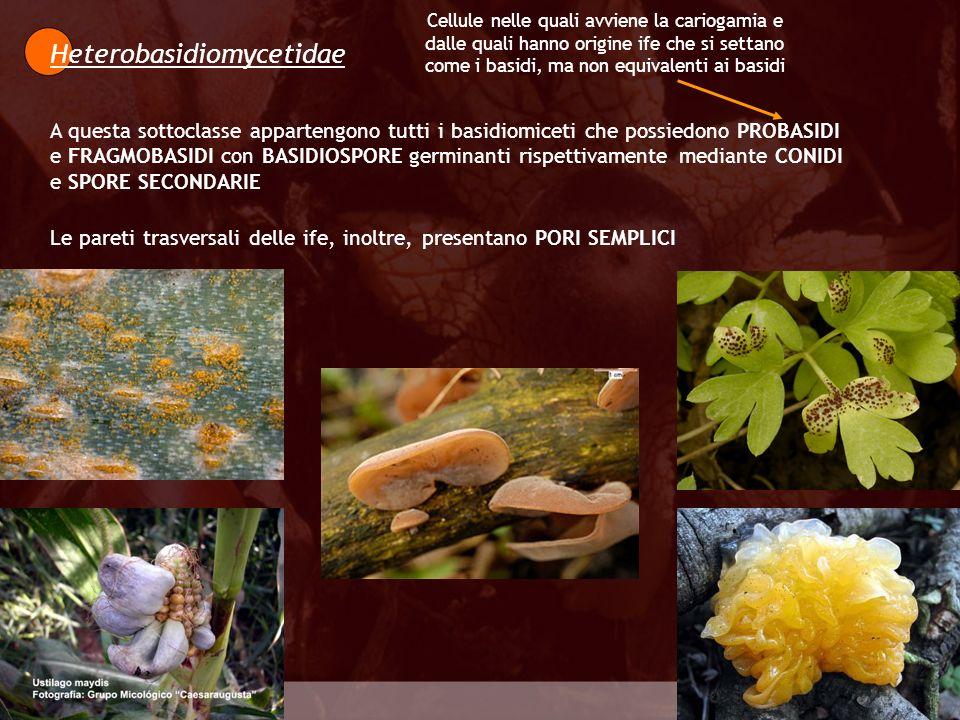 Eumycota Heterobasidiomycetidae A questa sottoclasse appartengono tutti i basidiomiceti che possiedono PROBASIDI e FRAGMOBASIDI con BASIDIOSPORE germi