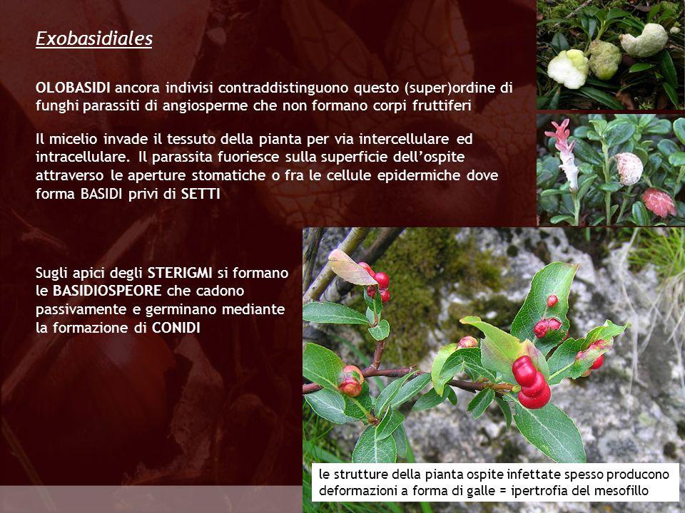 Eumycota Tilletiales I basidi sono privi di setti anche in questo (super)ordine e quindi assomigliano più ad OLOBASIDI che a FRAGMOBASIDI Uno o più setti si formano solo nel punto di separazione del PROBASIDIO le spighe di grano vengono infettate dal Carbone Tra basidiospore di sesso opposto, spesso ancora mentre si trovano ancora sui basidi, si formano ponti di copulazione attraverso i quali il plasma e il nucleo di una spora si traferiscono nellaltra basidiospora.