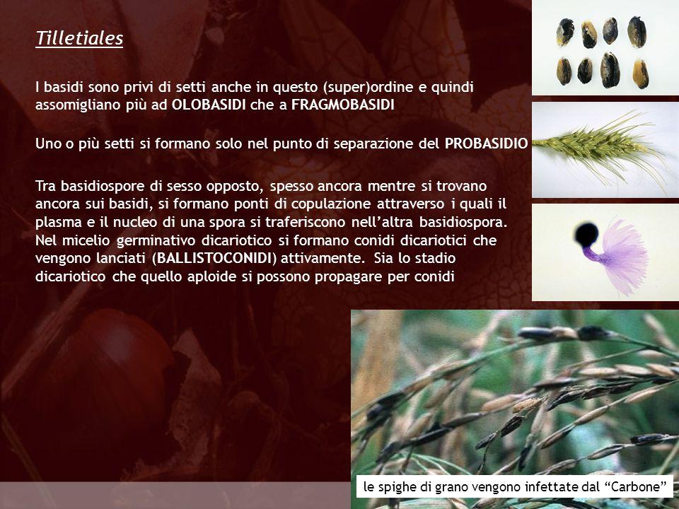 Eumycota Ustilaginales Le Ustilaginales, insieme alle Tilletiales, sono gli agenti patogeni dei Carboni Linfezione avviene al livello degli ovari o di altre porzioni dellospite e si originano escrescenze tumorali che portano le ustilagospore Il micelio è in grado di svernare a livello della cariosside Le Ustilaginales sono prive di corpo fruttifero e vivono come parassite intercellulari di piante superiori I carboni dei cereali sono malattie di notevole importanza economica.